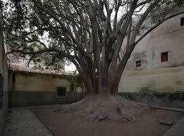 arbre essaouira